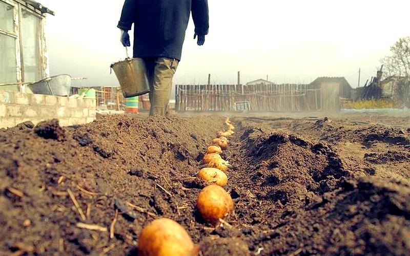 Пример посадки картофеля в траншеи