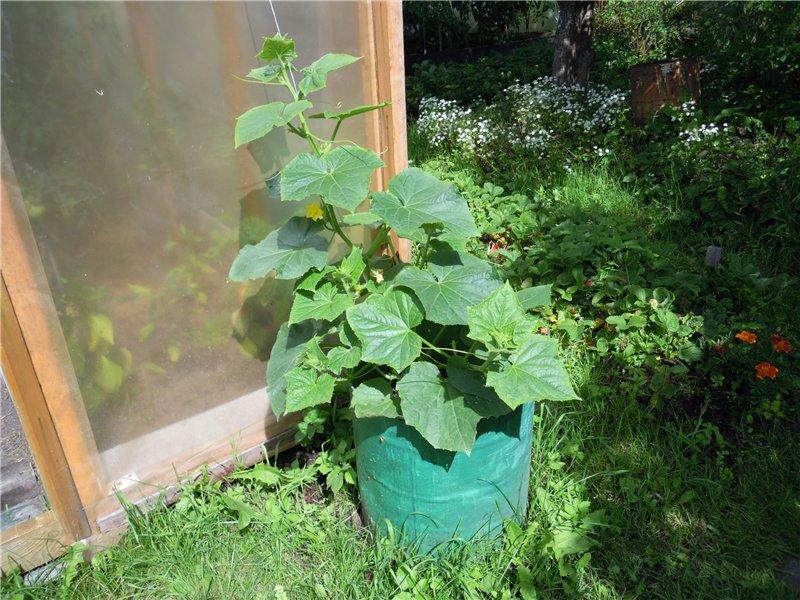 Пример выращивания огурцов в металлическом ведре