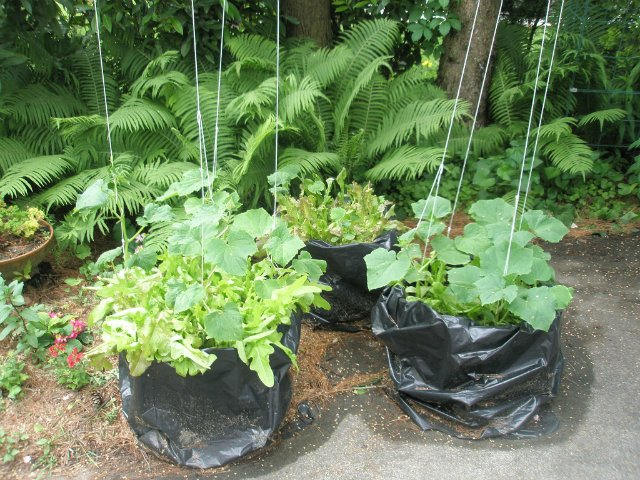 Пример выращивания огурцов в пакетах