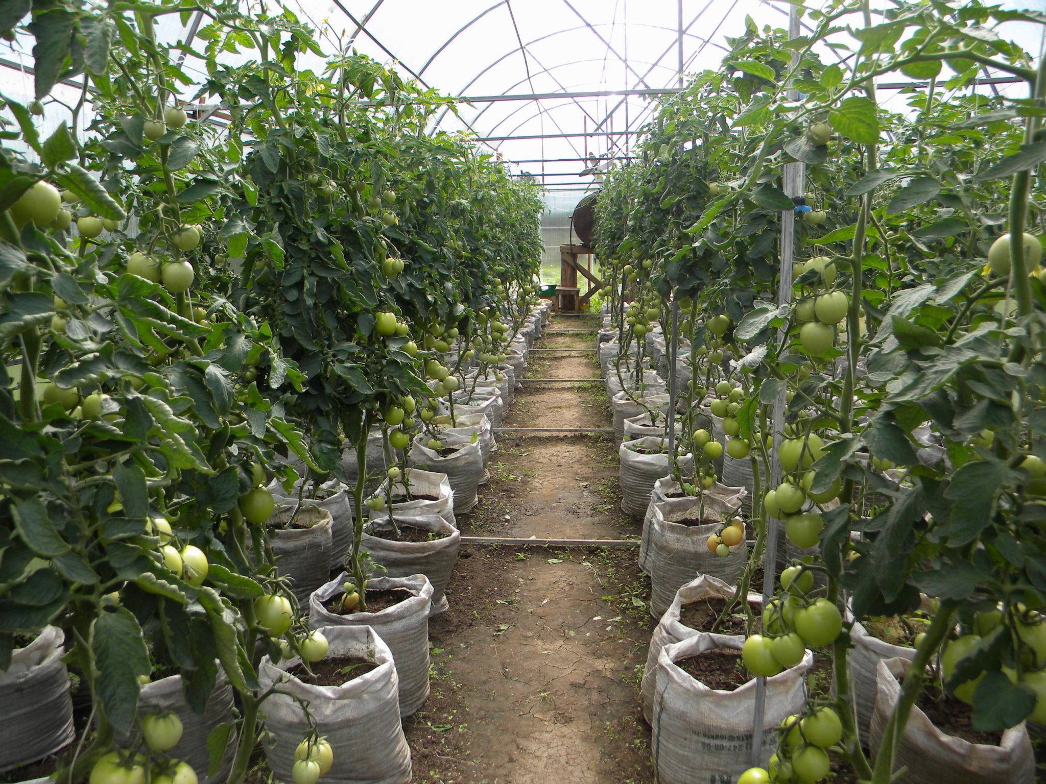 Пример выращивания помидоров в теплице