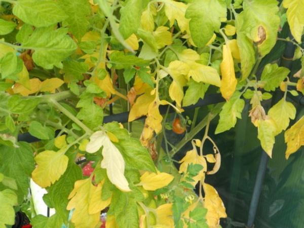 Признаки недостатка влаги на томатах