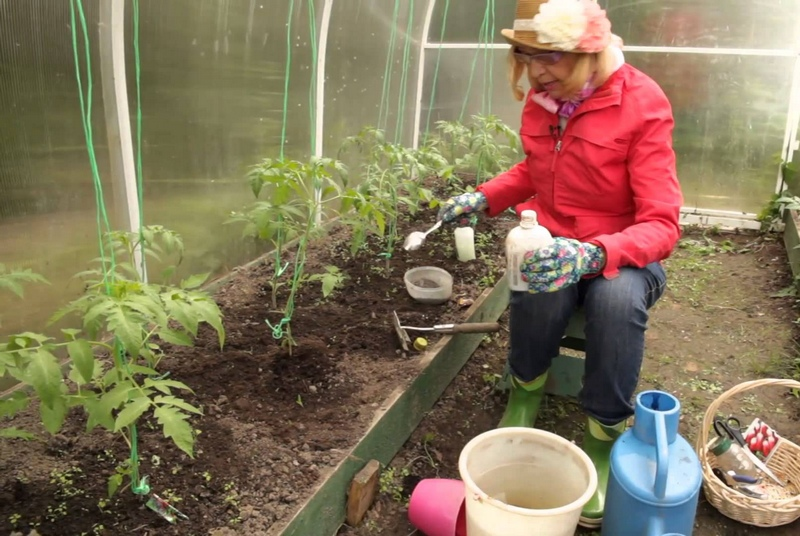 Процедура подкормки высаженных помидоров