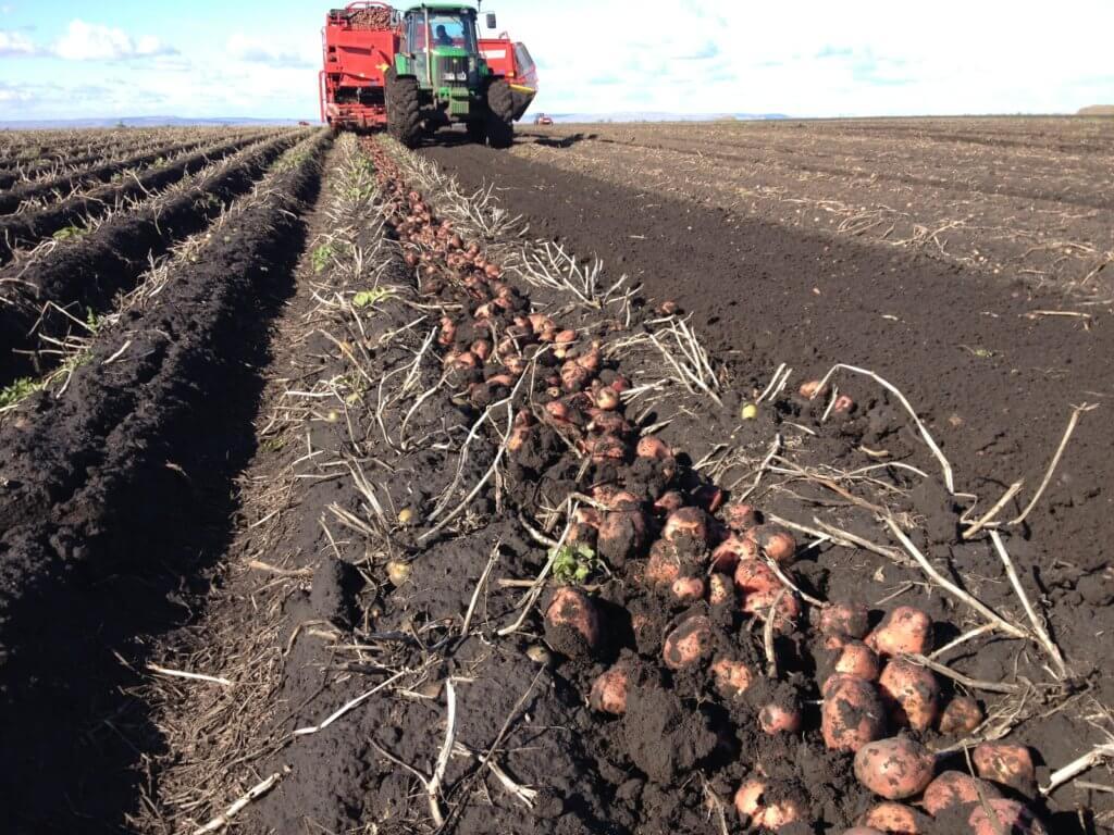 Процесс механизированной уборки картофеля