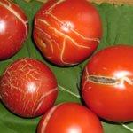 Растрескивание плодов томатов крупным планом