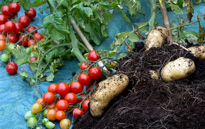 Симбиоз картофеля с томатом, что не рекомендуется