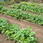 Выращивание фасоли рядом с картофелем и другими овощами