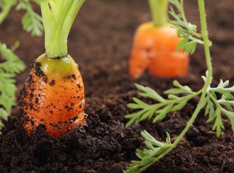 Как поливать морковь в открытом грунте: правила и рекомендации