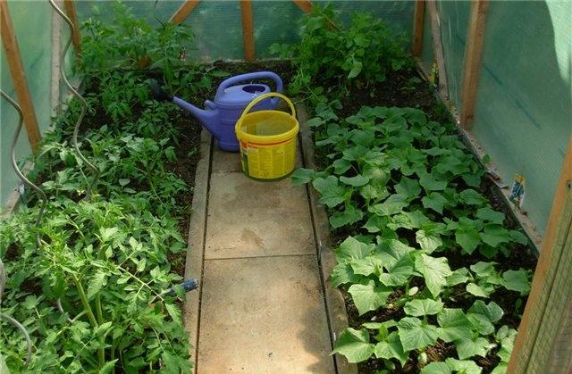 Выращивание огурцов и томатов в одной теплице
