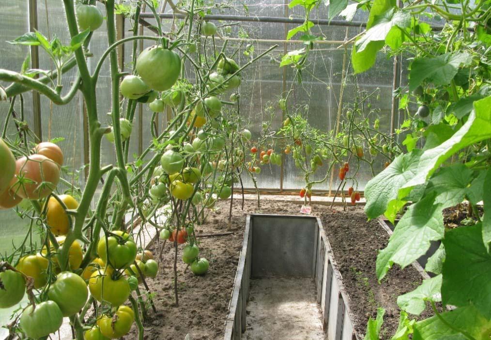 Выращивание помидоров в хорошо проветриваемой и освещенной теплице