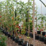 Выращивание томатов в теплице в горшках