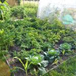 Высаживание растений-компаньонов по периметру участка с картофелем