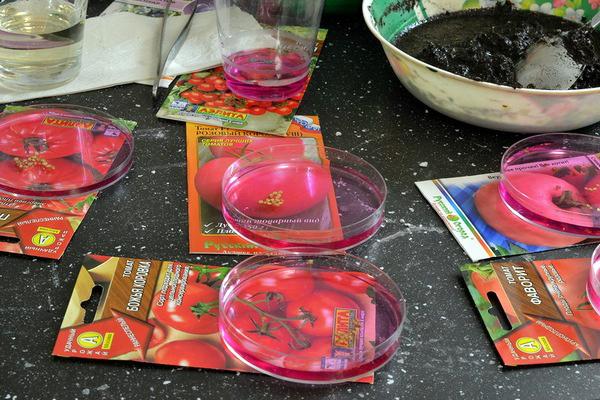 Обработка семян помидоров разных сортов раствором марганцовки