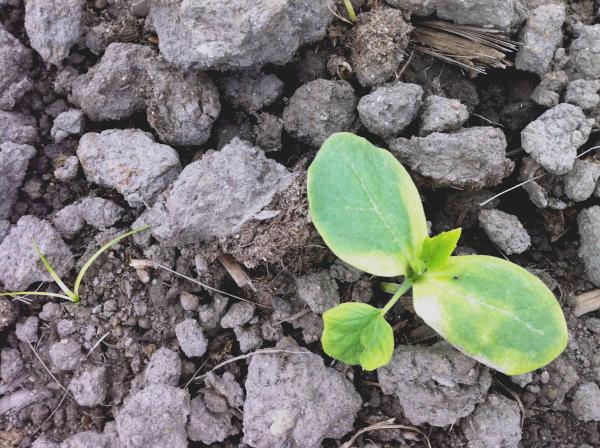 Рассада огурца высажена в истощенную почву