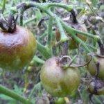 Больные фитофторозом помидоры