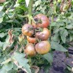 Пример фитофторы на помидорах