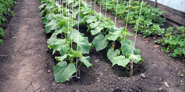 Огурцы выращиваются в открытом грунте