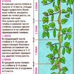 Формирование стебля огурца в теплице
