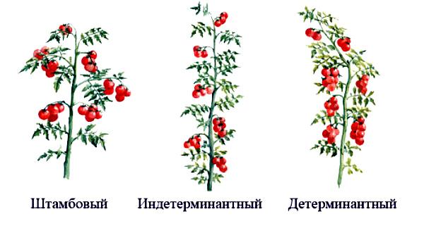 Различные типы томатных кустов
