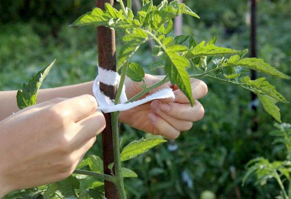 Подвязка томатного куста после его формирования