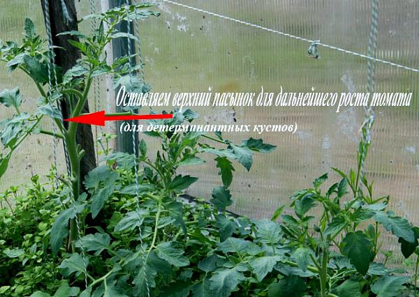 Технология формирования детерминантного куста томата
