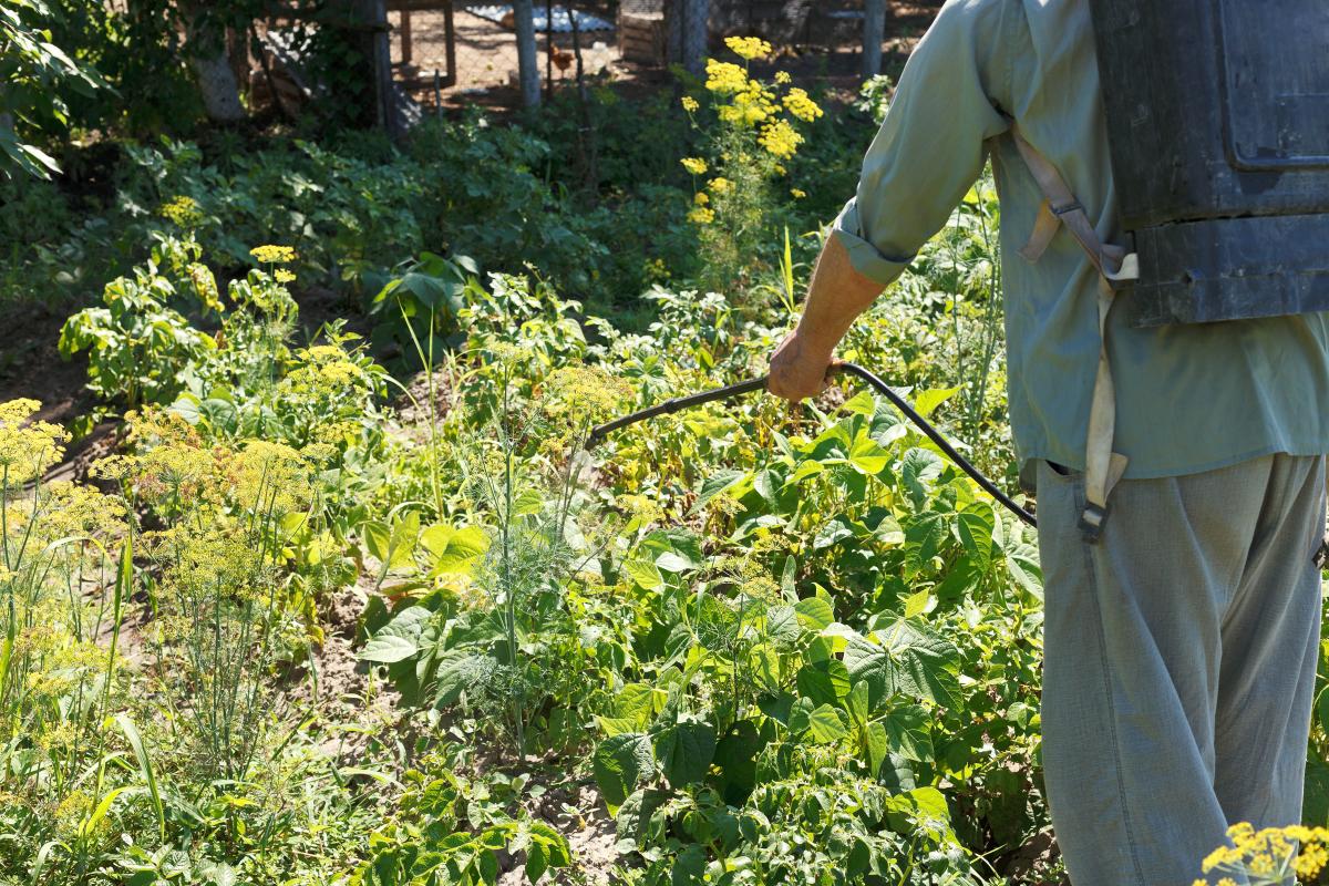 Опрыскивание посадок картофеля фунгицидами