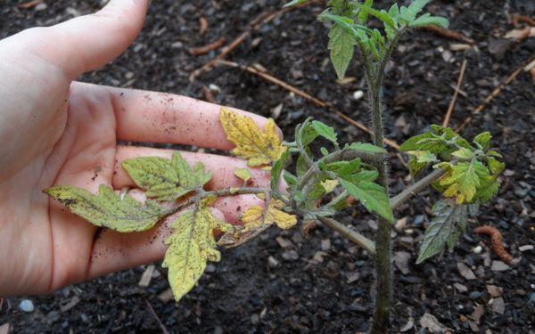 Повреждение корней может спровоцировать пожелтение листьев томата