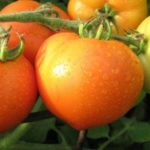 Ветка помидоров буденовка
