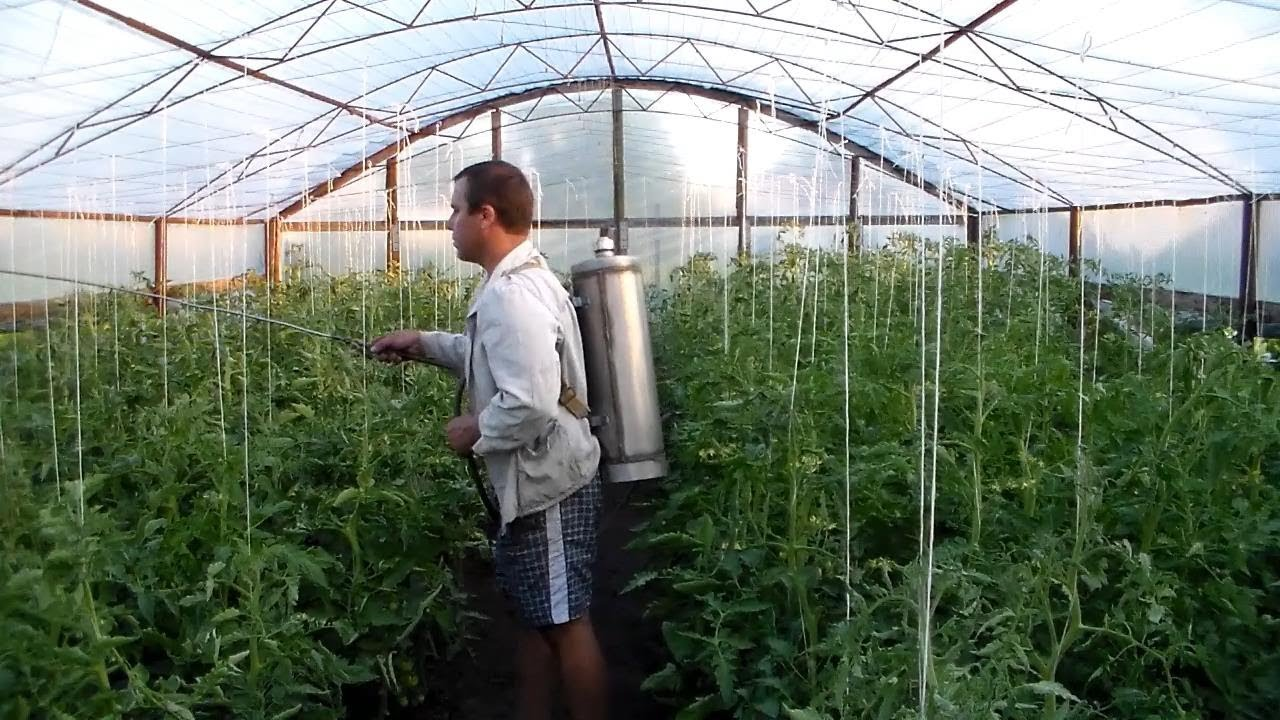 Опрыскивание тепличных растений с помощью опрыскивателя
