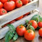 Здоровые томаты дают отличный урожай