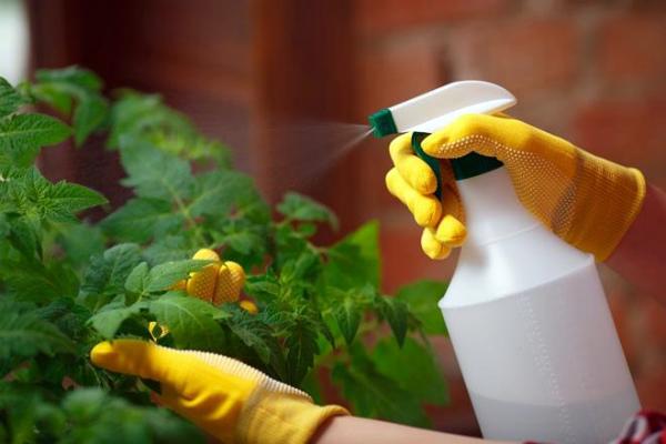 Обработка кустов томата методом опрыскивания