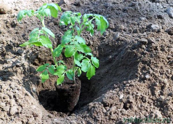 Подкормка рассады томата при высадке