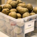 Урожай картофеля в ящике