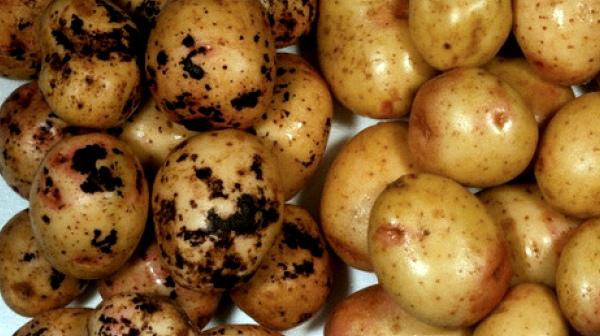 Картофель Гала: здоровые клубни и больные паршой