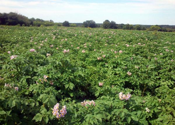 Цветение посадок картофеля