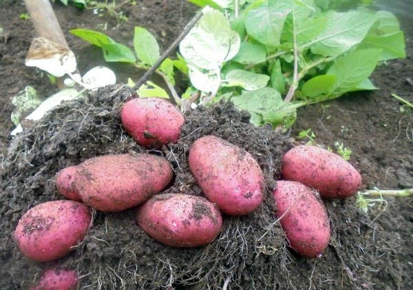 Картофель Скарлет: сбор урожая
