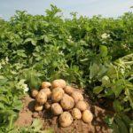 Урожай картофеля на грядке