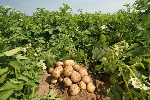 Урожай картофеля на поле