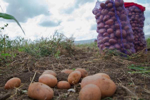 Выкопанный картофель сразу перебирают и сортируют