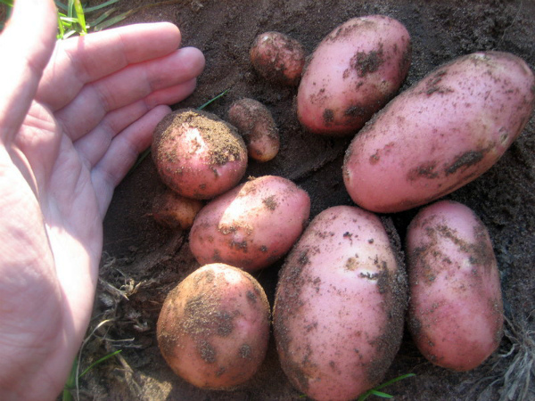 Урожай куста картофеля сорта Ред Скарлет