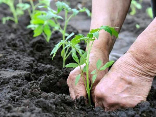 Посадка и первая подкормка рассады томатов