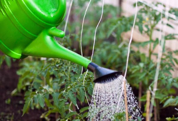 Опрыскивание овощей на огороде удобрениями
