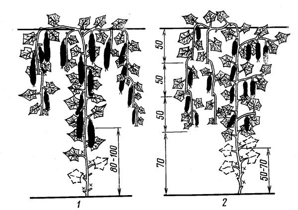 Схема формирования плетей огурца