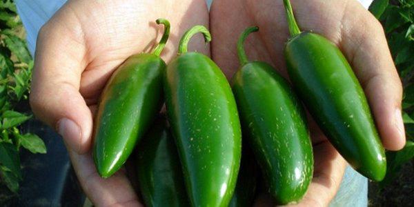Сбор урожая перчика Халапеньо