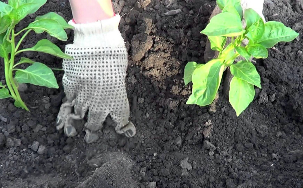 Посадка перца рассадой в грунт