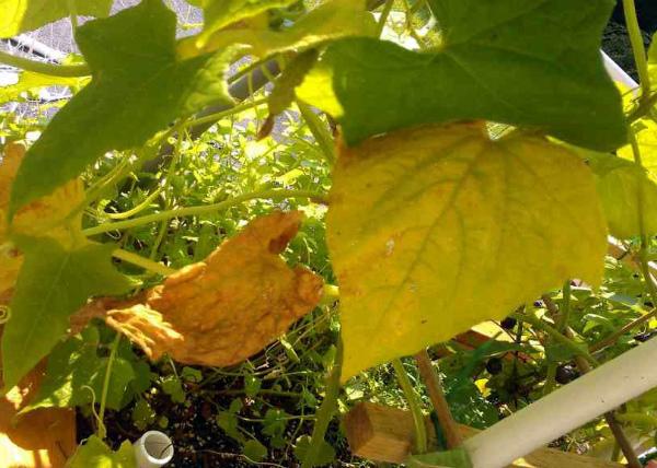 Пожелтение нижних листочков огурцов в теплице