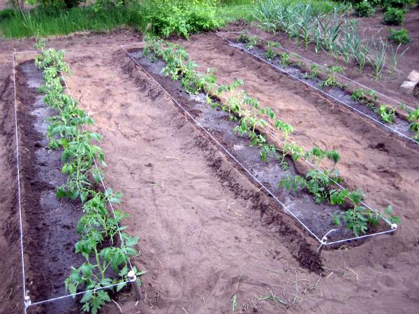 Обильный полив и подкормка томатов в открытом грунте