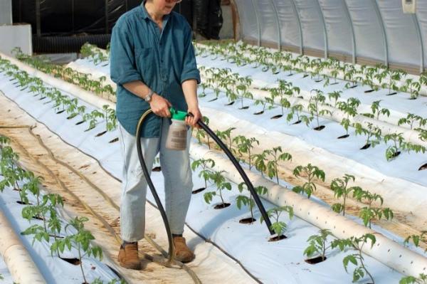 Полив и подкормка рассады томатов в теплице
