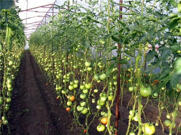 Прореженные кусты томата в теплице
