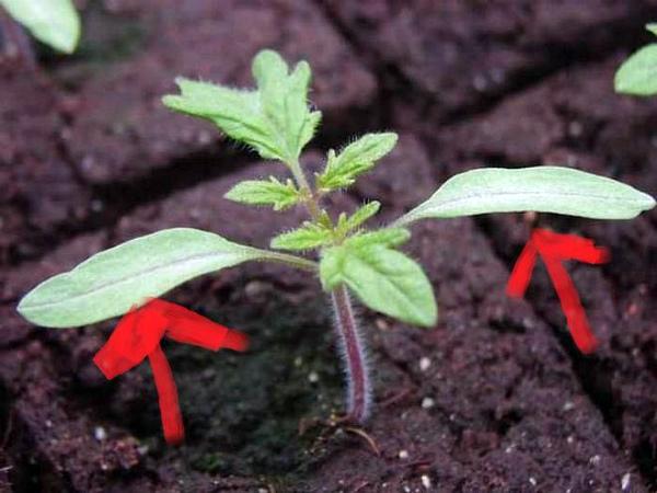 Удаление нижних листочков рассады томатов