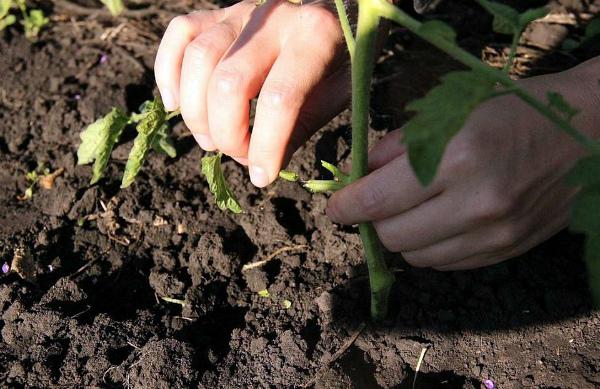 Правильное удаление нижних листьев и побегов томата